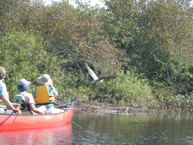 Canoeing and a Great Blue Heron