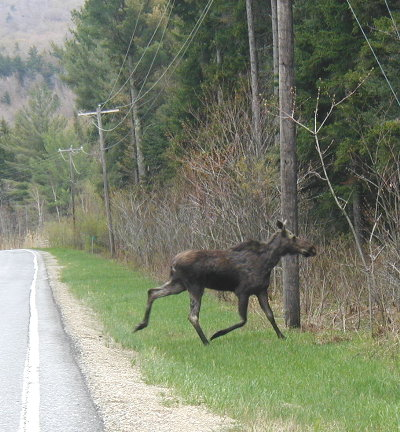 moose_running