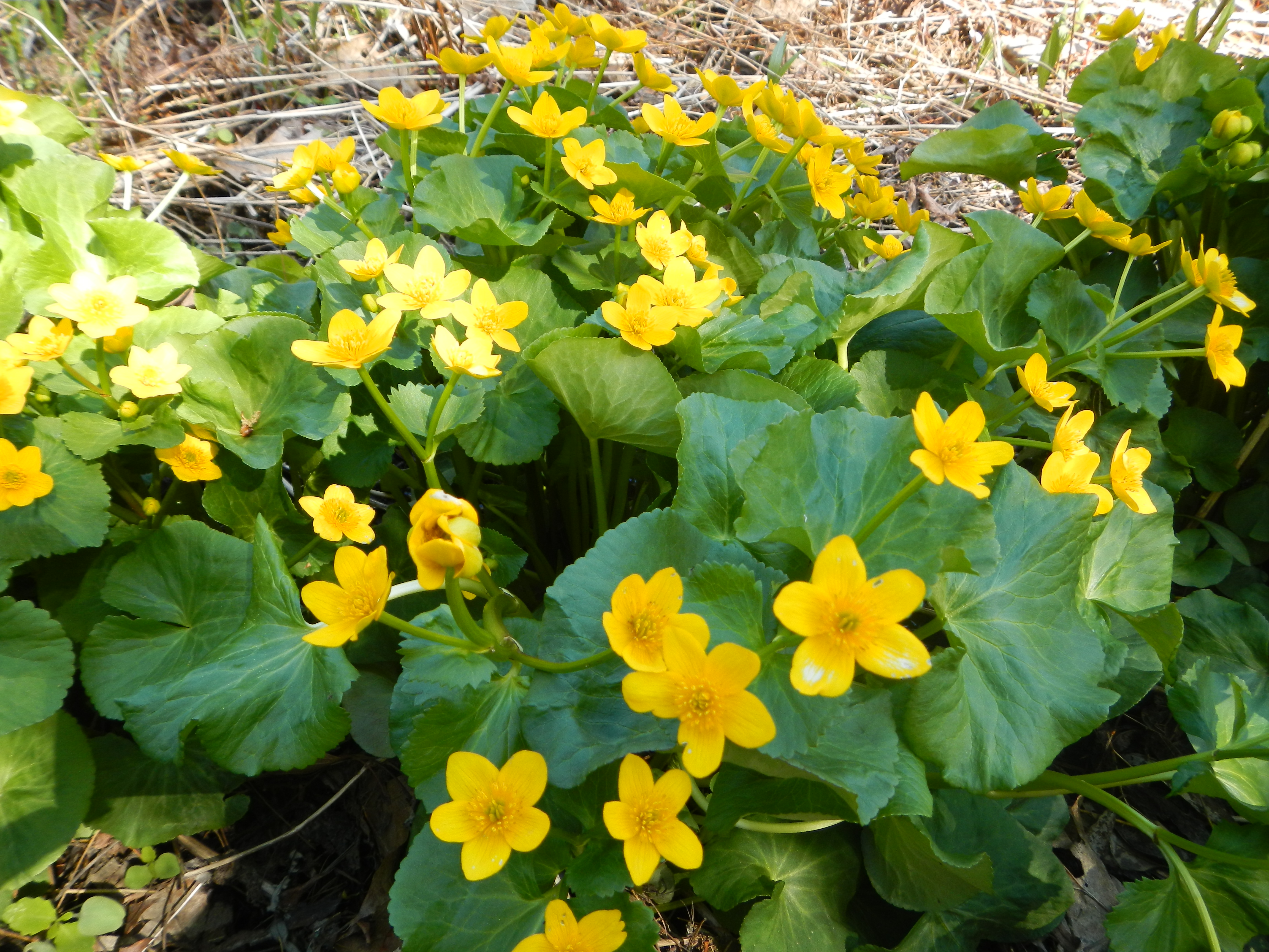 DSCN0198 Marsh Marigolds