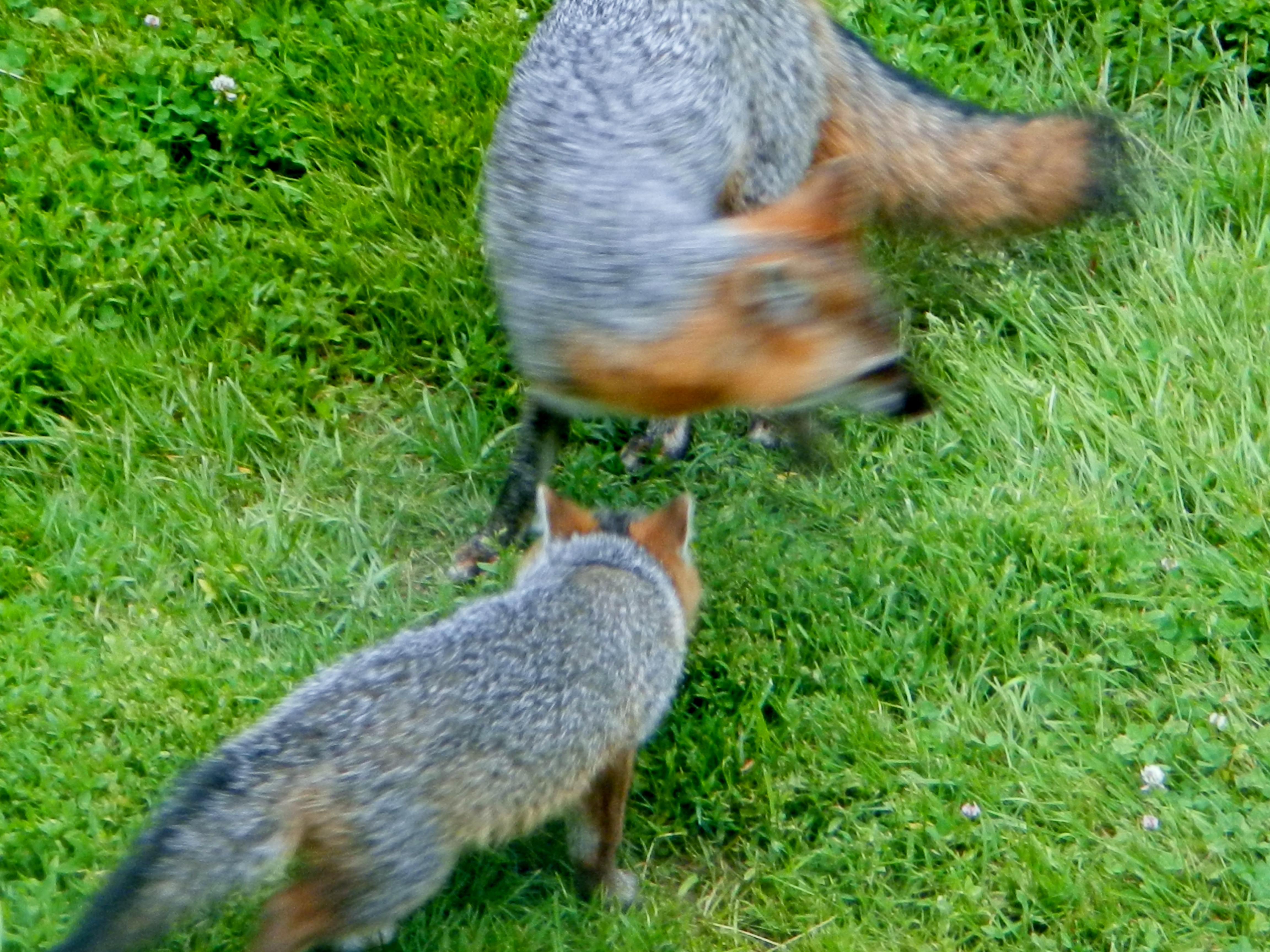 Grey Fox Kits