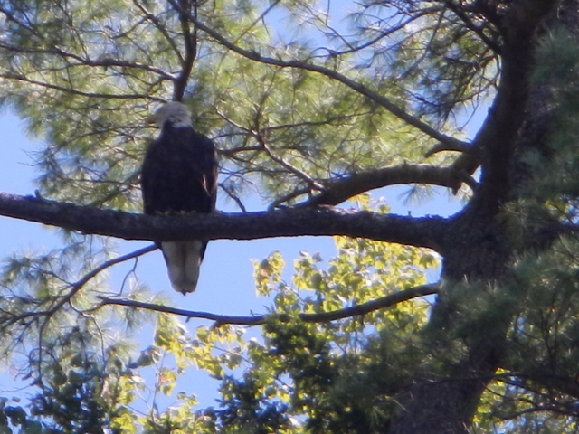 Mature Bald Eagle 1
