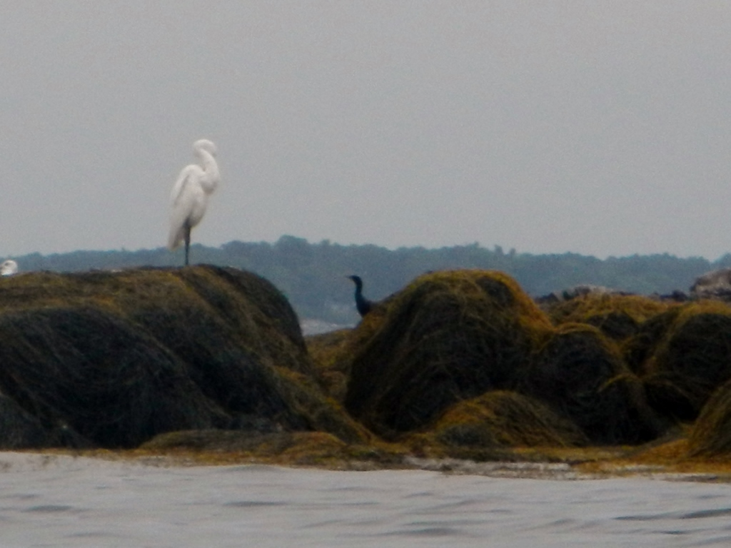 Snowy Egret and Cormorant 1024x768